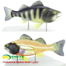 A30(12011) Zoology 5 parts Anatomy of Typical Bony Fish 12011