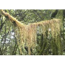 Tillandsia Usneoides Herb Powder From Kingherbs