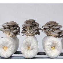 oyster mushroom compost cultivation mushroom growing