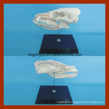 Education Model Dog Half Skull Model