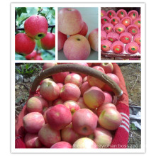 2015 Fresh Qinguan Apple by Shandong Boren