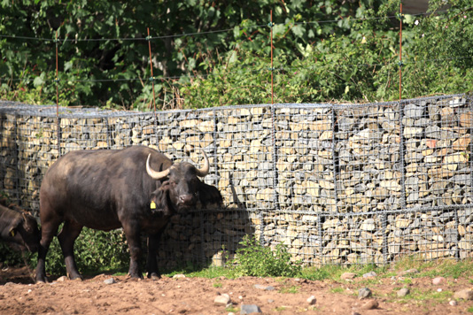 buffalo-in-front-of-gabion-baskets