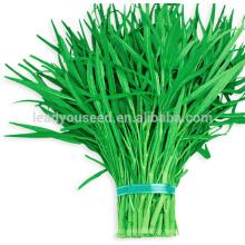 WS03 Guanglian vert pédoncule eau épinard graines pour la plantation