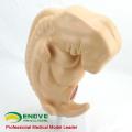 ANATOMY38(12476) Medical Anatomical Human Four-week Large Embryo Amplification Model 12476