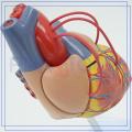 Modèle de coeur humain en plastique d'athérosclérose de vente chaude de PNT-0400a
