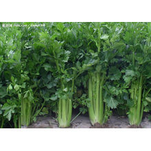 Produto de Cuidado de Saúde Natural de Aipo Celulose 95% / Extracto de Aipo