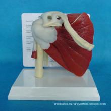 Высококачественная медицинская анатомия Модель человеческой мышечной системы (R040103)