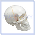PNT-0152 high quality numbered adult skull model