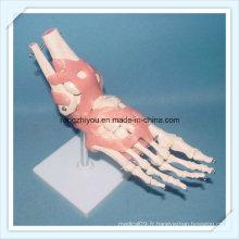 Modèle de squelette articulaire de pied humain vivant avec des ligaments