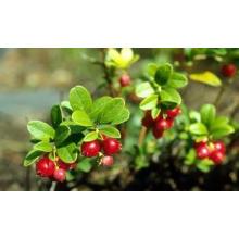 Heißer Verkauf Bärentraubenextrakt / Alpha Arbutin Pflanzenextrakt