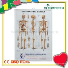 Пластическая анатомическая диаграмма скелетной системы человека
