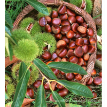 2015 New Crop High Quality Fresh Chestnut