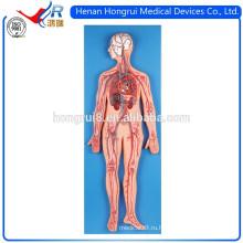 ISO-версия Анатомическая модель системы кровообращения