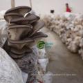 New Crop Frozen IQF Baby Oyster Mushroom