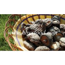 Capuchon lisse Stemless 3-4cm Champignon Shiitake séché