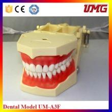 Modelo pequeno do dente de F com 32 dentes