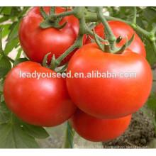 MT22 HP no.3 bright red hybrid determinate tomato hybrid seeds