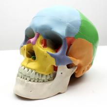 SKULL07 (12333) медицинский класс 3 Часть цветная модель черепа со съемной челюстью