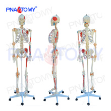 PNT-0103N modelo anatómico esqueleto numerado de tamaño natural con músculos de color y ligamentos articulares