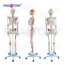 PNT-0103N modelo anatômico de esqueleto numerado em tamanho natural com músculos coloridos e ligamentos articulares