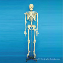 High Quality Medical Anatomy Skeleton Body Model (R020102)