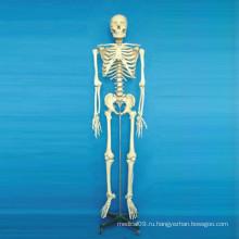 Высококачественная медицинская анатомическая модель тела скелета (R020102)
