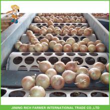 Markt Zwiebel Preis Frische Zwiebel Zwiebel
