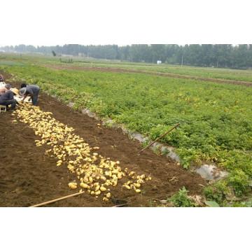 2016 Nouvelle culture de pommes de terre fraîches