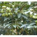 Natural Olive Leaf Extract