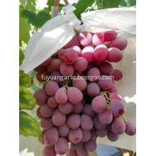 Sweet red grape 2019