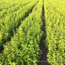 chinese high quality young black goji berry plantings seedings