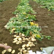 Usine de pommes de terre de récolte fraîche de 2016