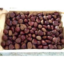 2015 Nuevo Crop Buena Calidad Professinal Chestnut