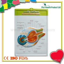 Медицинская глазная 3D-анатомическая диаграмма
