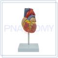 PNT-0400 venta caliente y alta calidad partes del cuerpo humano corazón para el hospital