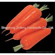China Shandong Fresh Carrot