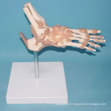 Modèle de squelette de la fonction osseuse médicale humaine (R020908)