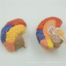 Китайские производители модель головы с мозгом