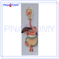PNT-0450 pvc human anatomical digestive system model (3 parts) for medical teaching