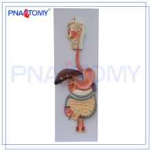 PNT-0450 pvc modelo de sistema digestivo anatómico humano (3 partes) para la enseñanza de la medicina