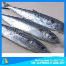 New caught best frozen whole spanish mackerel