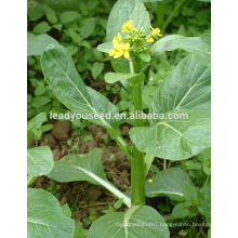 MCS02 Xigen heat resistant early maturity chinese choy sum seeds company
