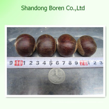 100%Nature Fresh Chestnut From China