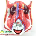 UROLOGY06(12426) Medical Anatomy Dual-sex Human Urinary System in Situ, Male and Female Bladder Interchangeable