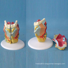 Medical Teaching Human Throat Anatomy Biological Model (R070116)