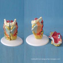 Ensino Médico Anatomia da Garganta Humana Modelo Biológico (R070116)