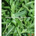 Suntoday Légumes asiatiques F1 Bio fusée de jardin argula laitue Lactuca sativa graines (32004)