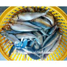 Peixe congelado de sardinha