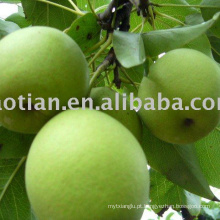 Longkou produziu Shandong Pears