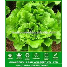 NLT02 Haodel No hybrid quality lettuce seeds factory
